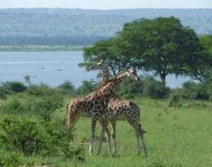 13/04/2013 10916979-paysage-ensoleille-avec-deux-males-girafes-rothschild-au-combat-en-ouganda-afrique-300x237